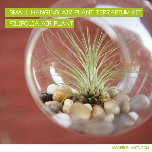filifolia air plant hanging terrarium