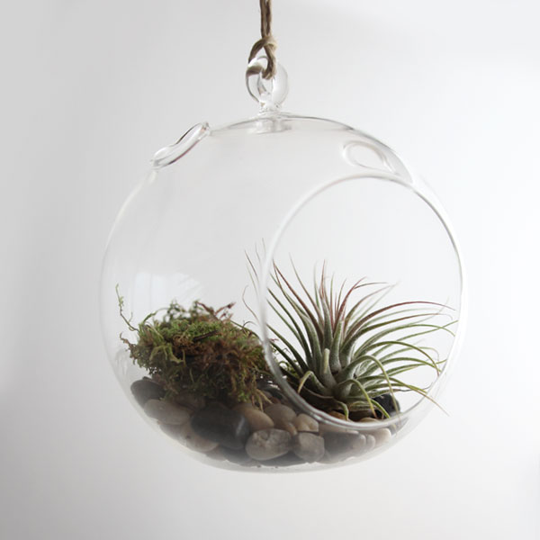 Can I put Tillandsia in my terrarium